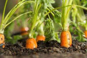 How-to-grow-carrots-at-home