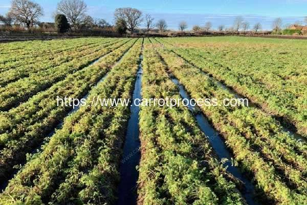 Heavy-FloodingMakes-UK-at-Risk-of-Running-Low-on-Carrot-Supplies