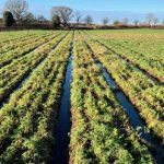 Heavy FloodingMakes UK at Risk of Running Low on Carrot Supplies